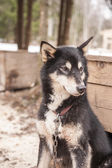 Husky dog siberian animal — Stockfoto