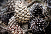 Pine Cones and Needles in forest — Stock Photo