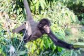 Spider Monkey Reaching for Banana — Foto de Stock