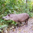 Grazing Brazilian Tapir — Stock Photo #53712865