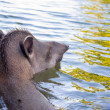 Brazilian Tapir Swimming — Stock Photo #53713053