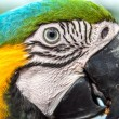 Blue and Yellow Macaw Face — Stock Photo #69046279