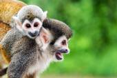 Squirrel Monkey Mother and Child — ストック写真