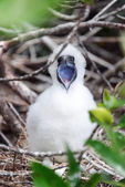 Red Footed Booby Chick — Stock Photo