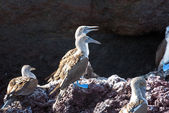Blue Footed Boobies on a Rock — Stock Photo