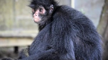 Spider Monkey Video — Stock Video