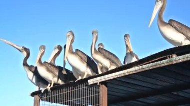 Пеликаны на крыше — Стоковое видео