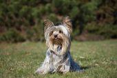 Yorkshire terrier  — Стоковое фото