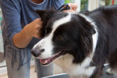 Grooming of Border Collie — Stock Photo