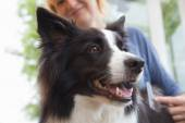 Grooming of Border Collie — Stok fotoğraf