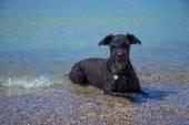 在海大的黑色雪纳瑞狗. — 图库照片