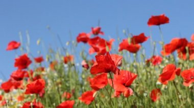 Red poppies with blůue sky in the background — Stockvideo