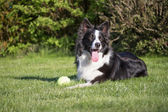 Lying Border collie with a yellow ball  — Stock Photo