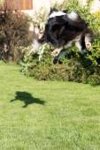 Border collie is jumping and catching its shadow — Stock Photo