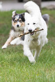 White Swiss Shepherd dog is fetching — Stock Photo