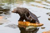 South American sea lion — Stock Photo