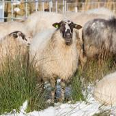 Adult sheep  — Stock Photo