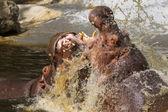 Two fighting hippos (Hippopotamus amphibius) — Stock Photo
