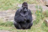 Silver backed male Gorilla — Stock Photo
