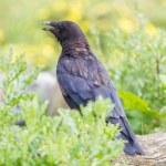 Black Crow — Photo #81951326