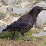 Black Crow — Photo #82120356