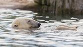 Close-up of a polarbear — Stock Photo