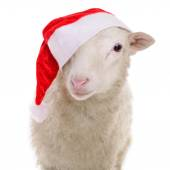 Sheep in Christmas clothes — Stock Photo