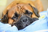 Dog lying and resting — Stock Photo