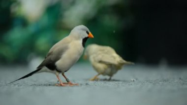Two beautiful little bird — Stock Video