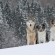 Three beautiful dogs in snowy landscape — Stock Photo #58798821