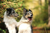 Border collies having fun — Stock Photo