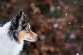 Border collie watching snowflakes — Stock Photo