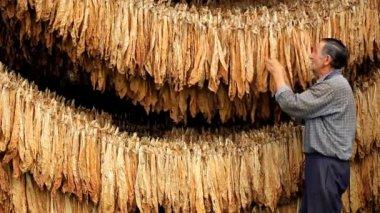 Сухой табачный лист — Стоковое видео