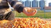 Freshly harvested corn grains — Stock Photo