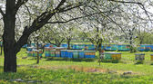 Beehives in the blooming cherry orchard — Stock Photo