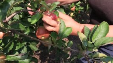 Apple picking in orchard — Stock Video