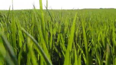 Walk through the green wheat field — Stock Video