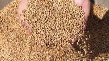 Wheat grain in a hand, slow motion — Stock Video