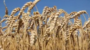 Golden wheat field is ripe and ready for harvest — Stock Video