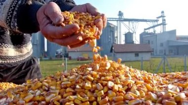 Corn grain in a hand after good harvest — Stock Video