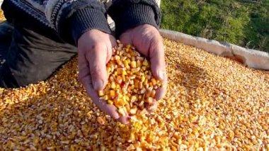 Majs korn i en hand efter god skörd — Stockvideo