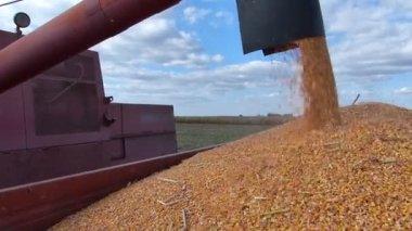 Corn harvest, Combine in action — Stock Video