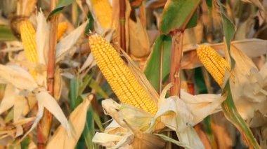 Ripe corn in the field — Stockvideo