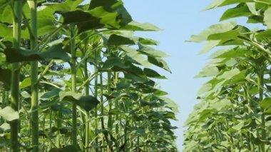 Green Sunflower Field — Stock Video