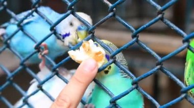 Man feed the Budgerigars — Stock Video