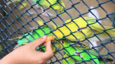 Child feed the Budgerigars — Stock Video