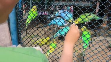 Children feed the Budgerigars — Stock Video