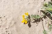 Cretan trefoil, Lotus creticus — Stock Photo