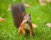 Squirrel (Sciurus vulgaris) — ストック写真