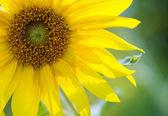 Beautiful sunflower close up — Stock Photo